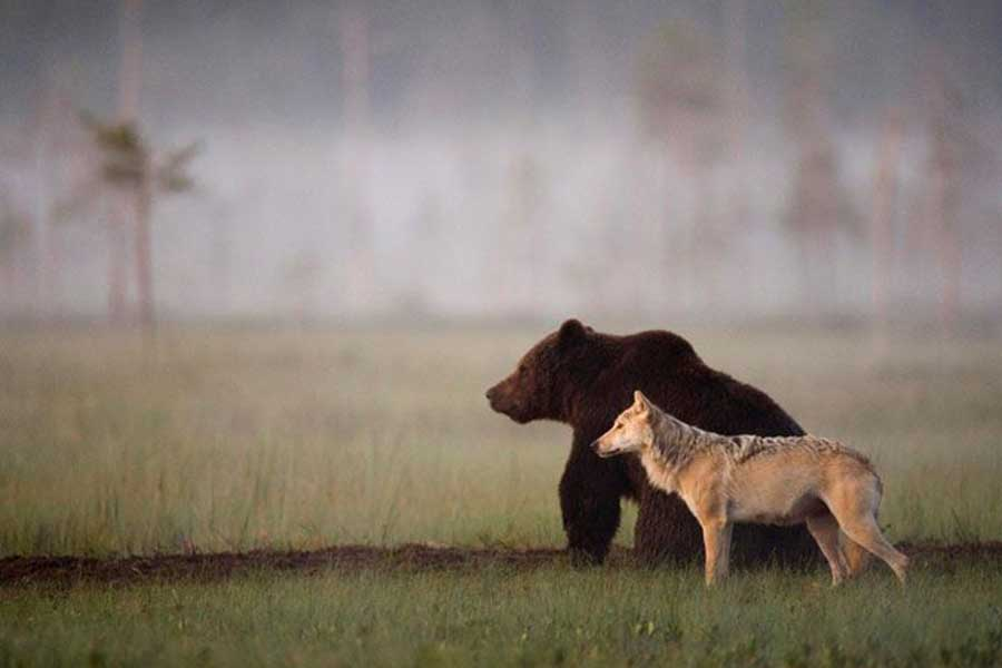 Rare and Unusual Friendship Between Wolf and Bear