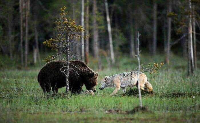 unusual-friendship-between-wolf-and-bear-documented-by-finnish-photographer